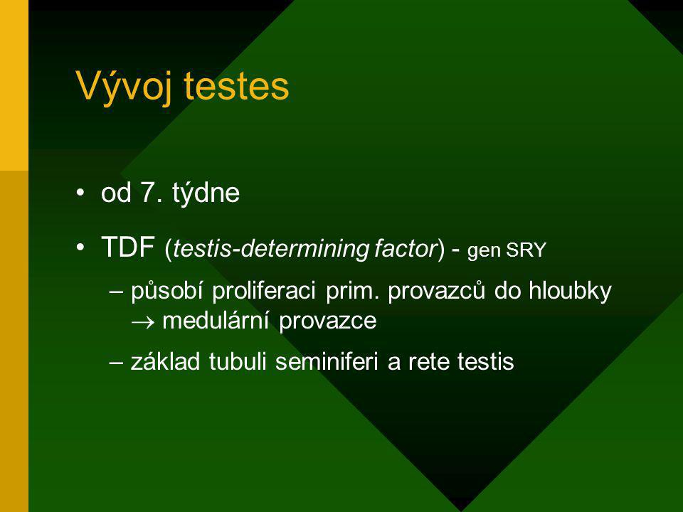 Vývoj testes od 7. týdne TDF (testis-determining factor) - gen SRY