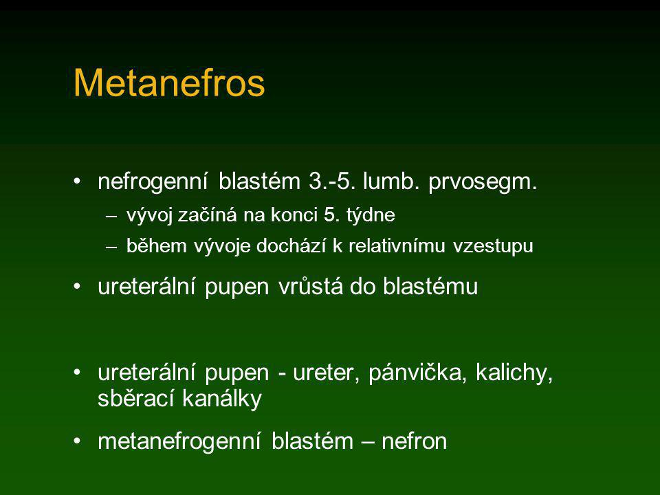 Metanefros nefrogenní blastém 3.-5. lumb. prvosegm.