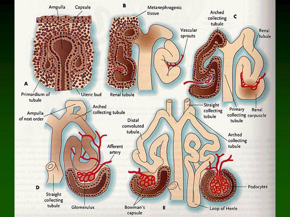Indukce nefronů kulovité tělísko čárkovité tělísko esovité tělísko