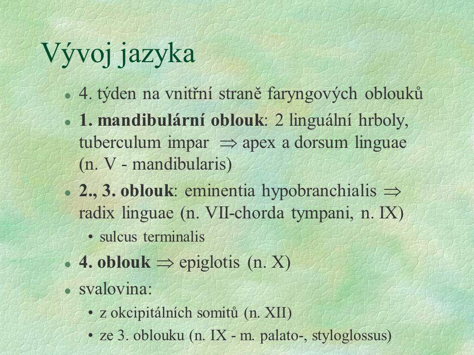 Vývoj jazyka 4. týden na vnitřní straně faryngových oblouků