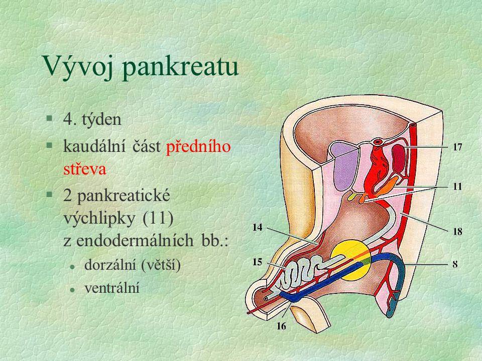 Vývoj pankreatu 4. týden kaudální část předního střeva