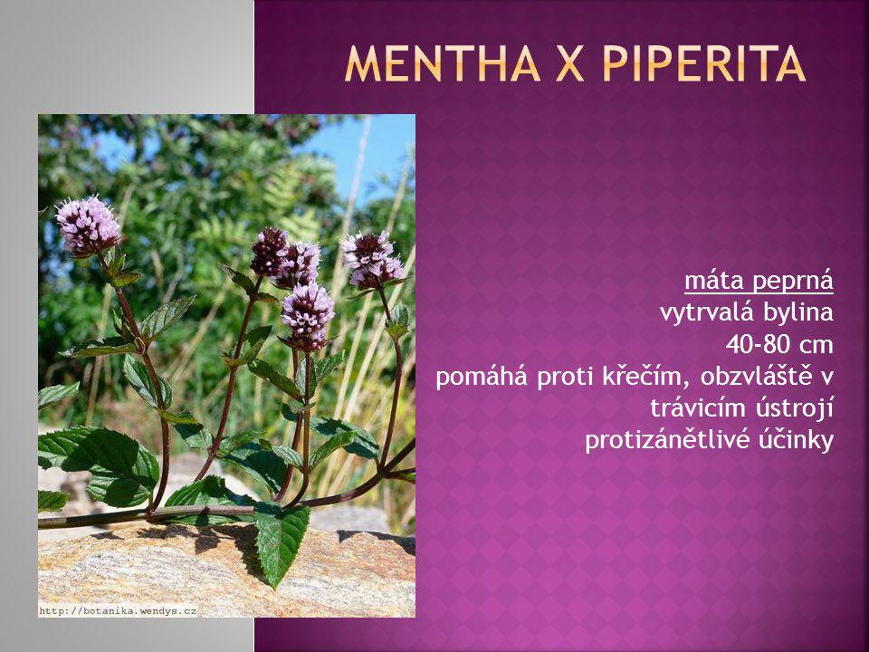 Mentha x piperita máta peprná vytrvalá bylina 40-80 cm pomáhá proti křečím, obzvláště v trávicím ústrojí protizánětlivé účinky.