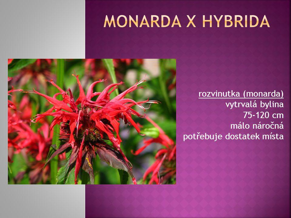 Monarda x hybrida rozvinutka (monarda) vytrvalá bylina 75-120 cm málo náročná potřebuje dostatek místa.