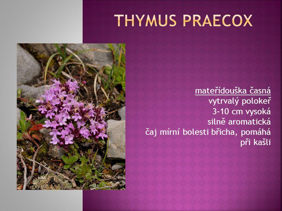 Thymus praecox mateřídouška časná vytrvalý polokeř 3-10 cm vysoká silně aromatická čaj mírní bolesti břicha, pomáhá při kašli.