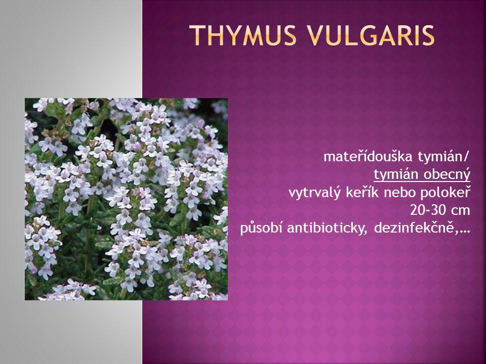 Thymus vulgaris mateřídouška tymián/ tymián obecný vytrvalý keřík nebo polokeř 20-30 cm působí antibioticky, dezinfekčně,…
