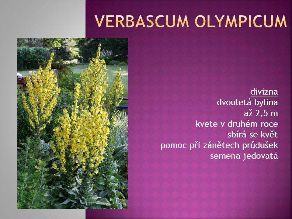 Verbascum olympicum divizna dvouletá bylina až 2,5 m kvete v druhém roce sbírá se květ pomoc při zánětech průdušek semena jedovatá.