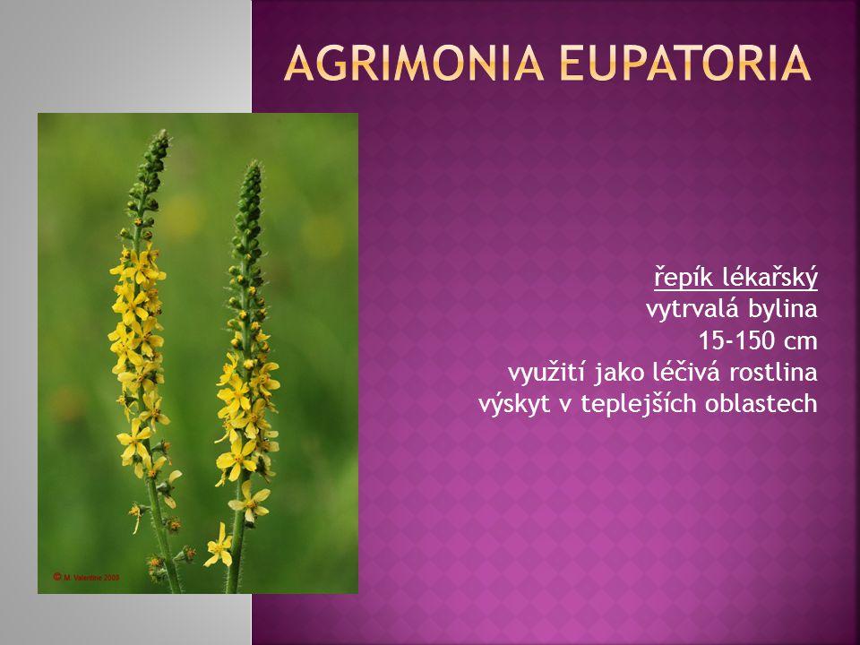 Agrimonia Eupatoria řepík lékařský vytrvalá bylina 15-150 cm využití jako léčivá rostlina výskyt v teplejších oblastech.
