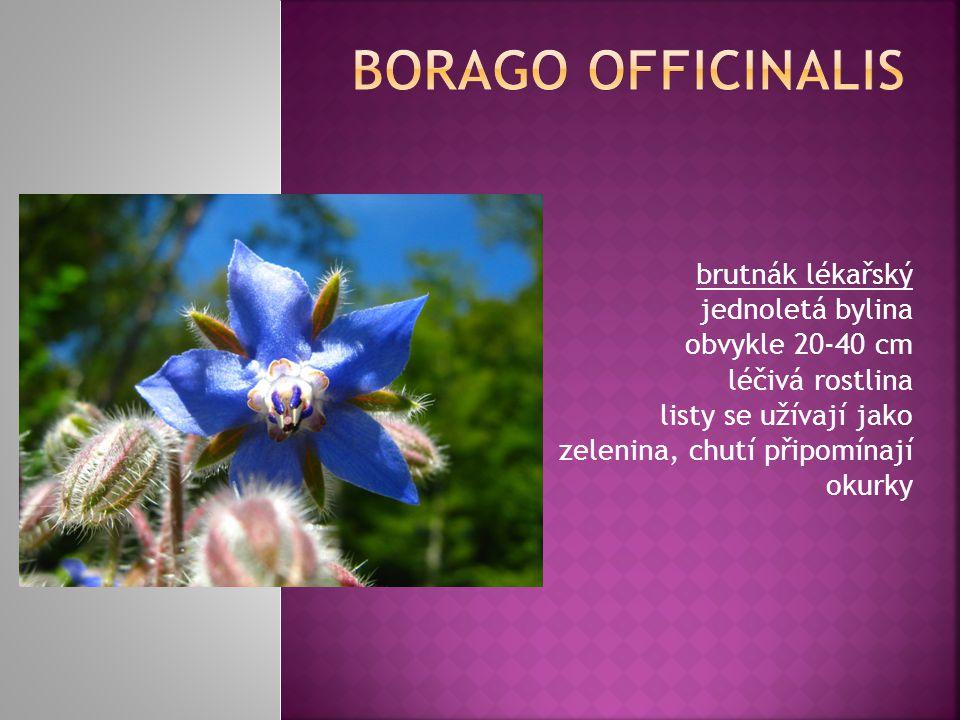 BORAGO OFFICINALIS brutnák lékařský jednoletá bylina obvykle 20-40 cm léčivá rostlina listy se užívají jako zelenina, chutí připomínají okurky.