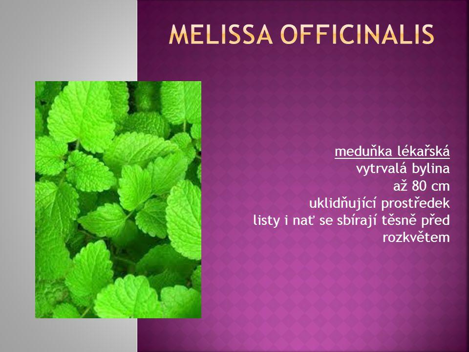 melissa officinalis meduňka lékařská vytrvalá bylina až 80 cm uklidňující prostředek listy i nať se sbírají těsně před rozkvětem.
