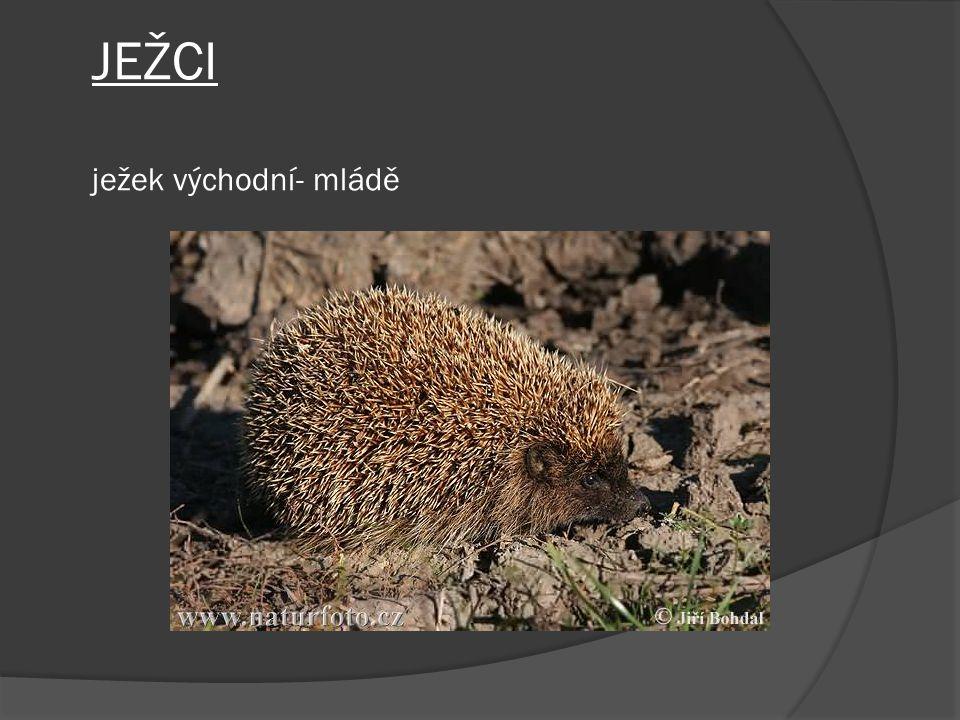 JEŽCI ježek východní- mládě