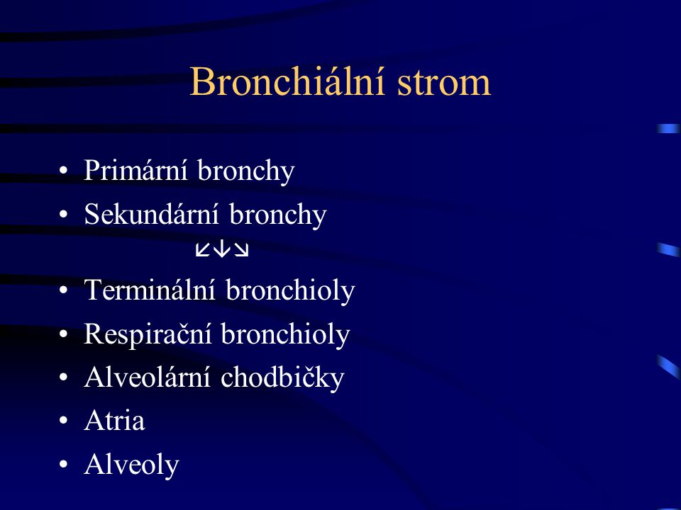 Bronchiální strom Primární bronchy Sekundární bronchy