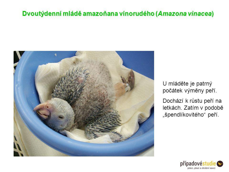 Dvoutýdenní mládě amazoňana vínorudého (Amazona vinacea)
