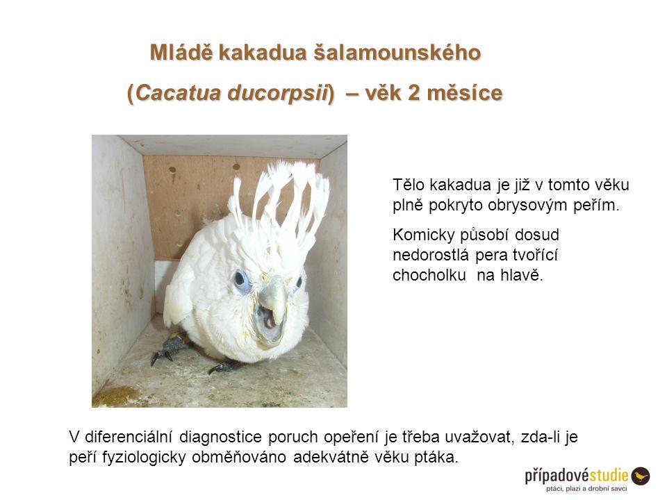 Mládě kakadua šalamounského (Cacatua ducorpsii) – věk 2 měsíce