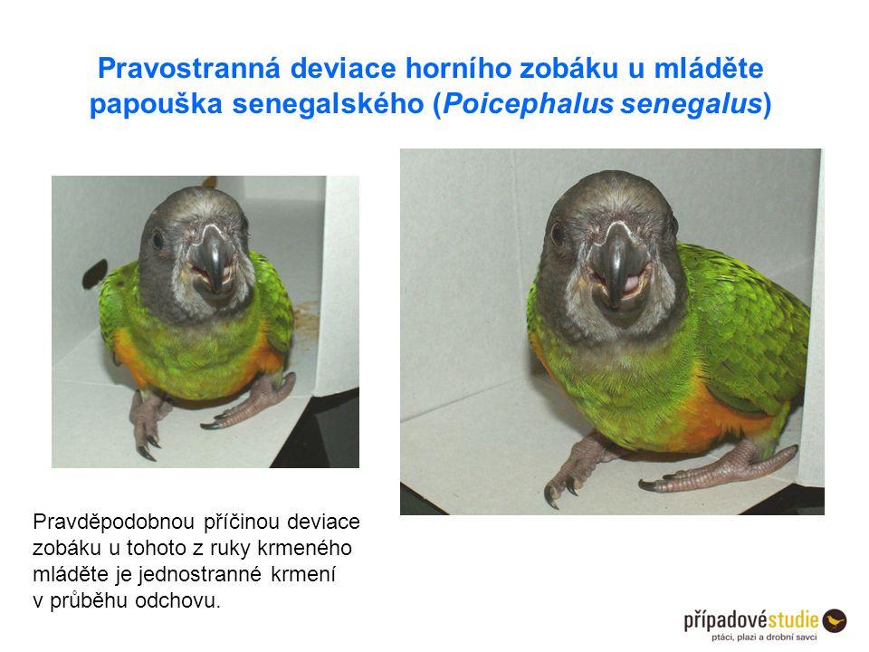 Pravostranná deviace horního zobáku u mláděte papouška senegalského (Poicephalus senegalus)