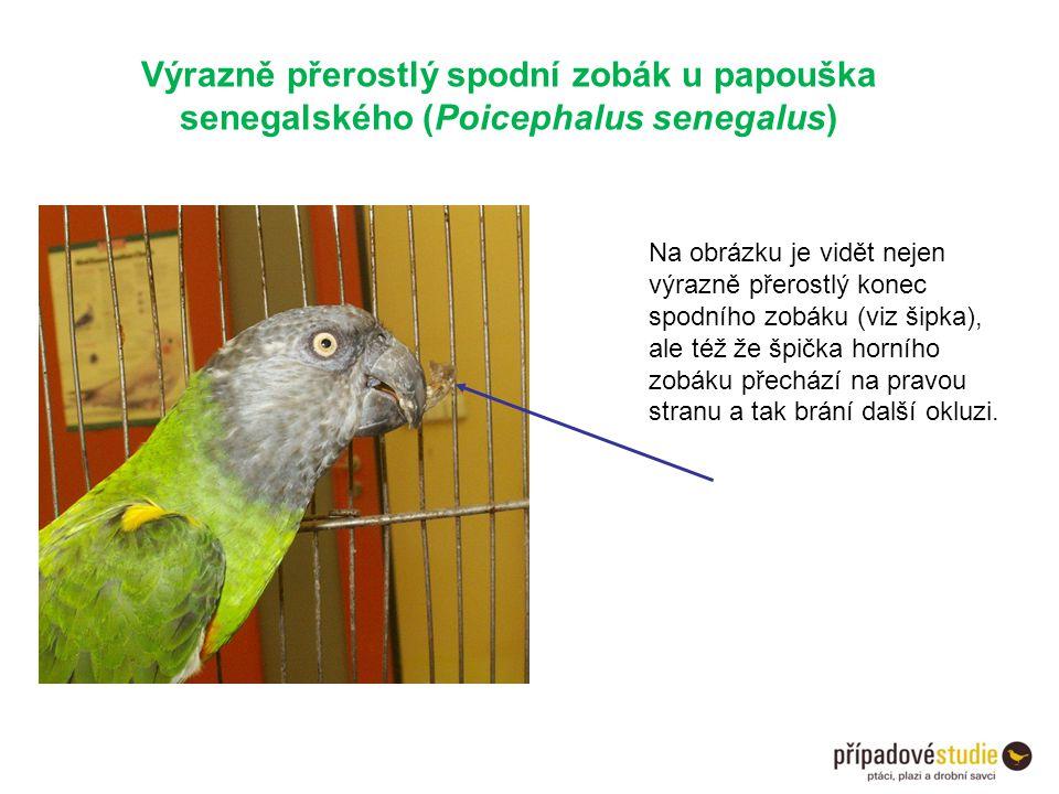 Výrazně přerostlý spodní zobák u papouška senegalského (Poicephalus senegalus)