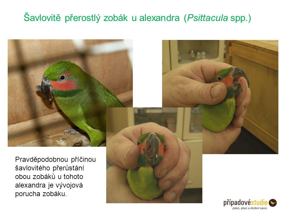 Šavlovitě přerostlý zobák u alexandra (Psittacula spp.)
