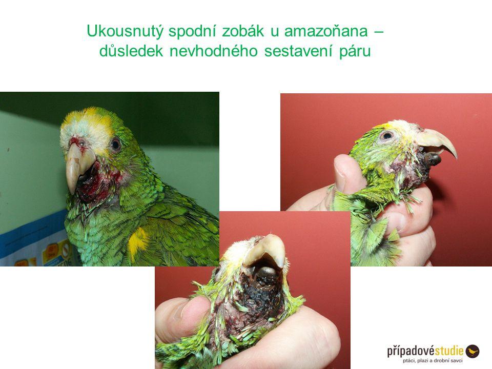 Ukousnutý spodní zobák u amazoňana –