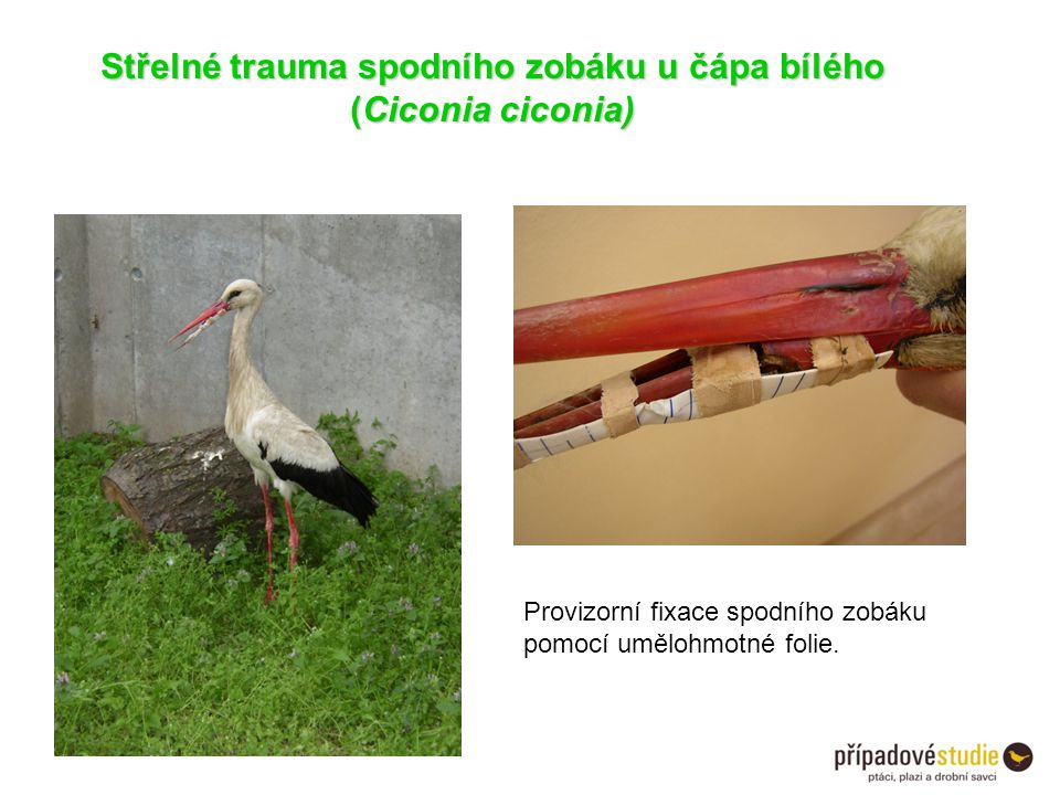 Střelné trauma spodního zobáku u čápa bílého (Ciconia ciconia)