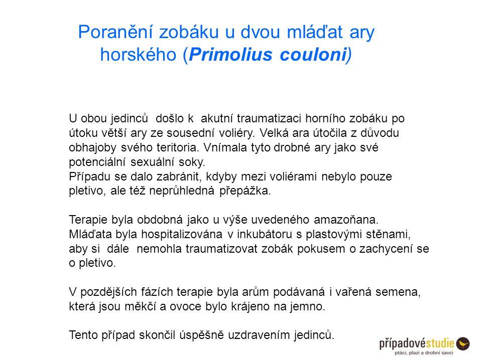 Poranění zobáku u dvou mláďat ary horského (Primolius couloni)
