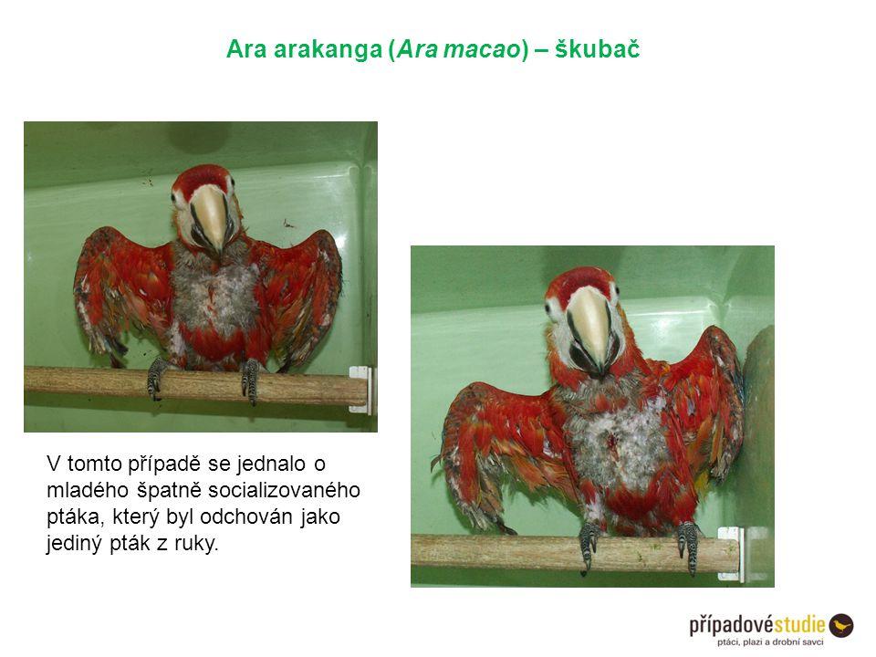 Ara arakanga (Ara macao) – škubač