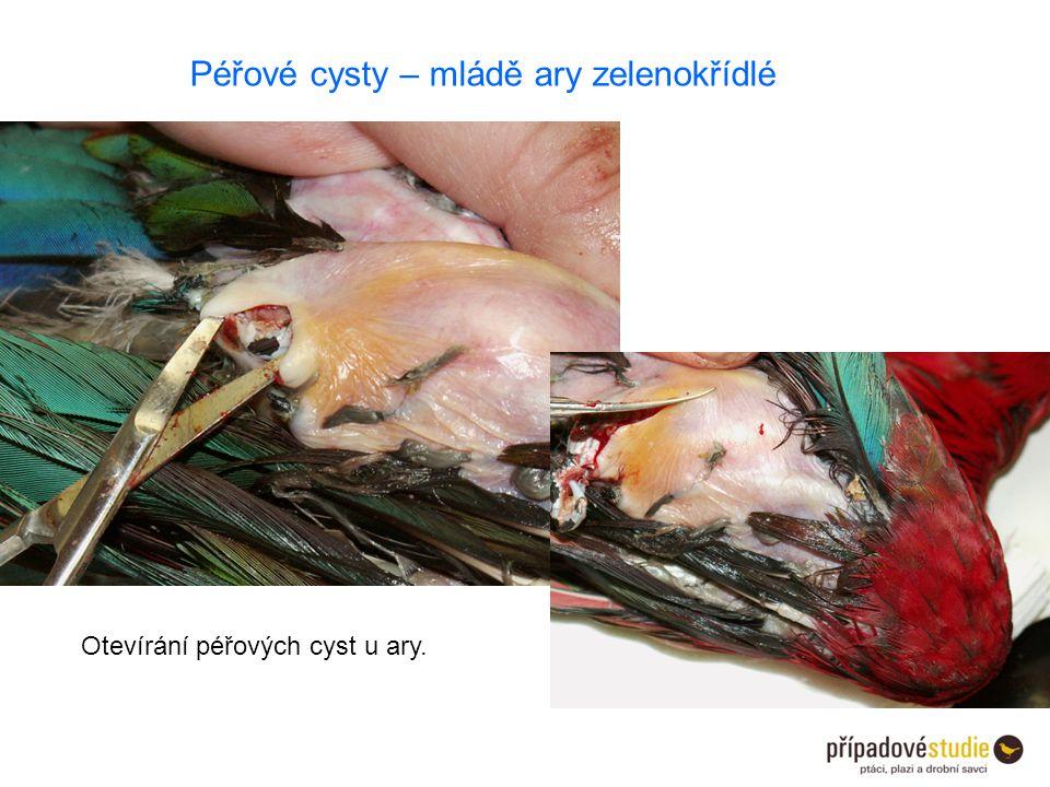 Péřové cysty – mládě ary zelenokřídlé