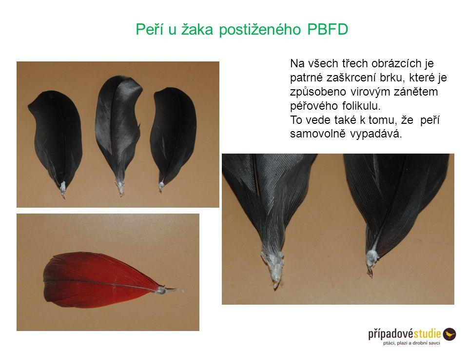 Peří u žaka postiženého PBFD