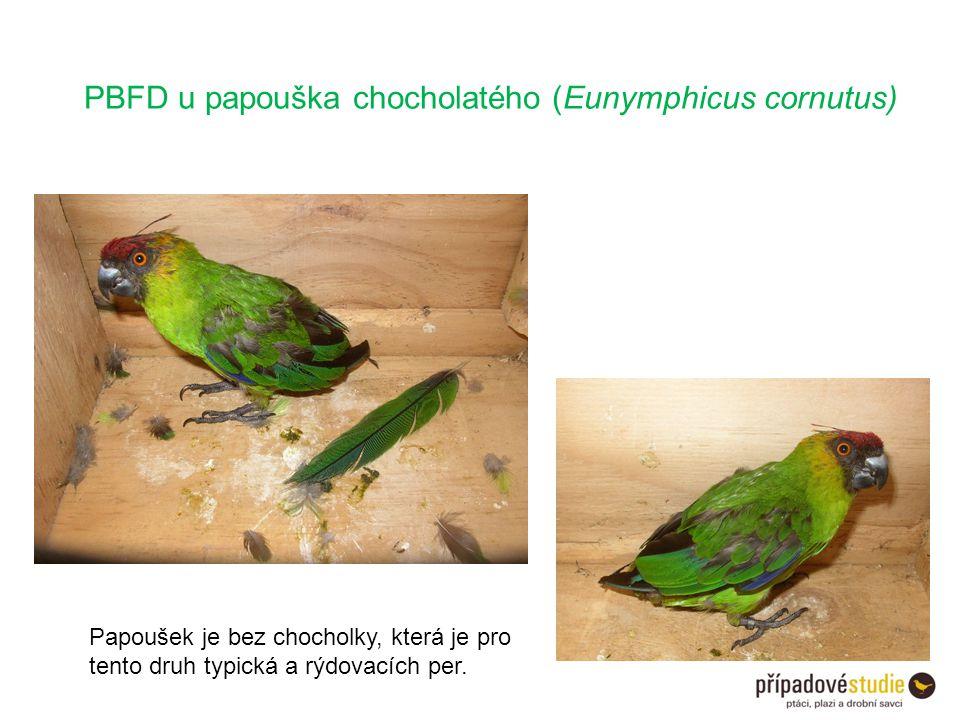 PBFD u papouška chocholatého (Eunymphicus cornutus)