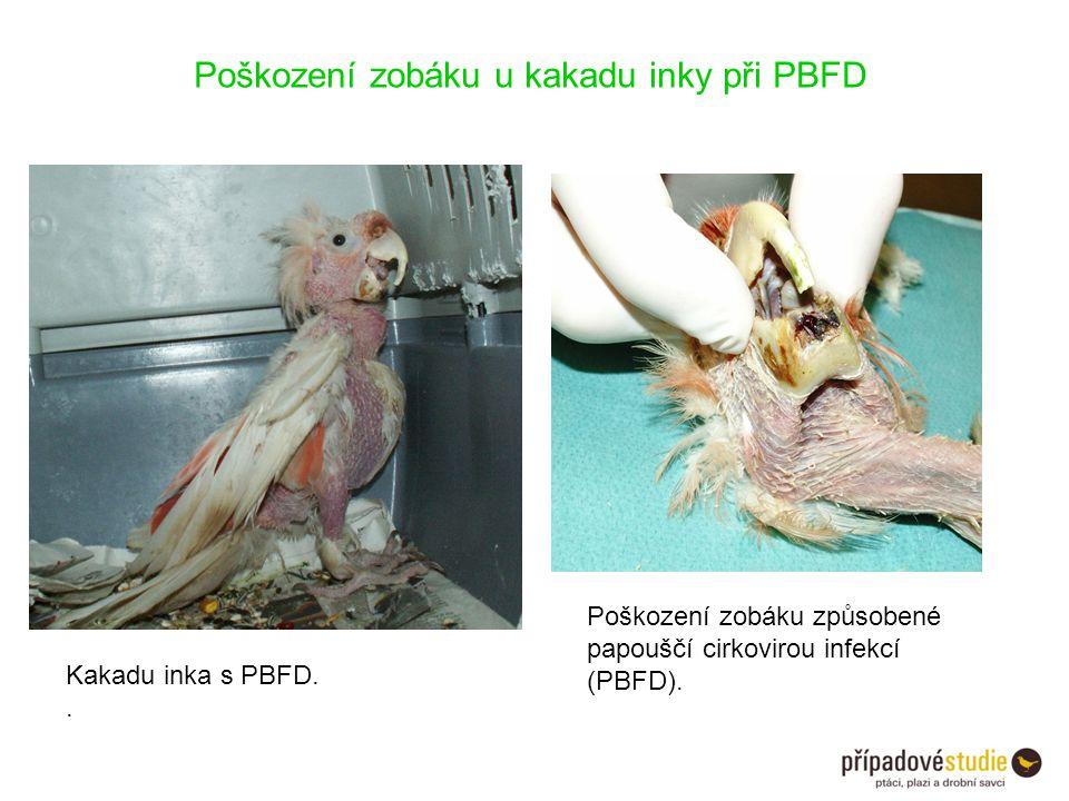Poškození zobáku u kakadu inky při PBFD