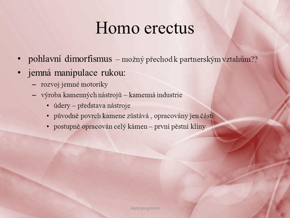 Homo erectus pohlavní dimorfismus – možný přechod k partnerským vztahům jemná manipulace rukou: rozvoj jemné motoriky.
