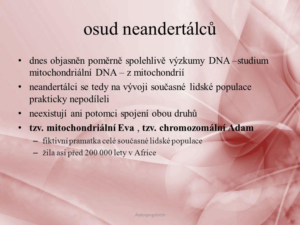 osud neandertálců dnes objasněn poměrně spolehlivě výzkumy DNA –studium mitochondriální DNA – z mitochondrií.