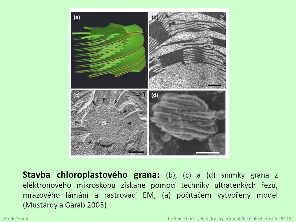 Stavba chloroplastového grana: (b), (c) a (d) snímky grana z elektronového mikroskopu získané pomocí techniky ultratenkých řezů, mrazového lámání a rastrovací EM, (a) počítačem vytvořený model (Mustárdy a Garab 2003)
