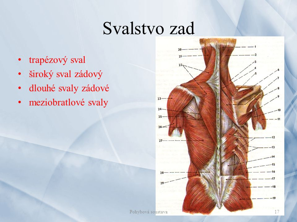 Svalstvo zad trapézový sval široký sval zádový dlouhé svaly zádové