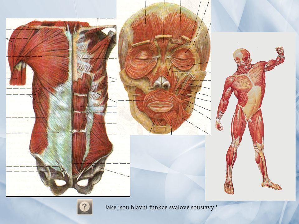 Jaké jsou hlavní funkce svalové soustavy