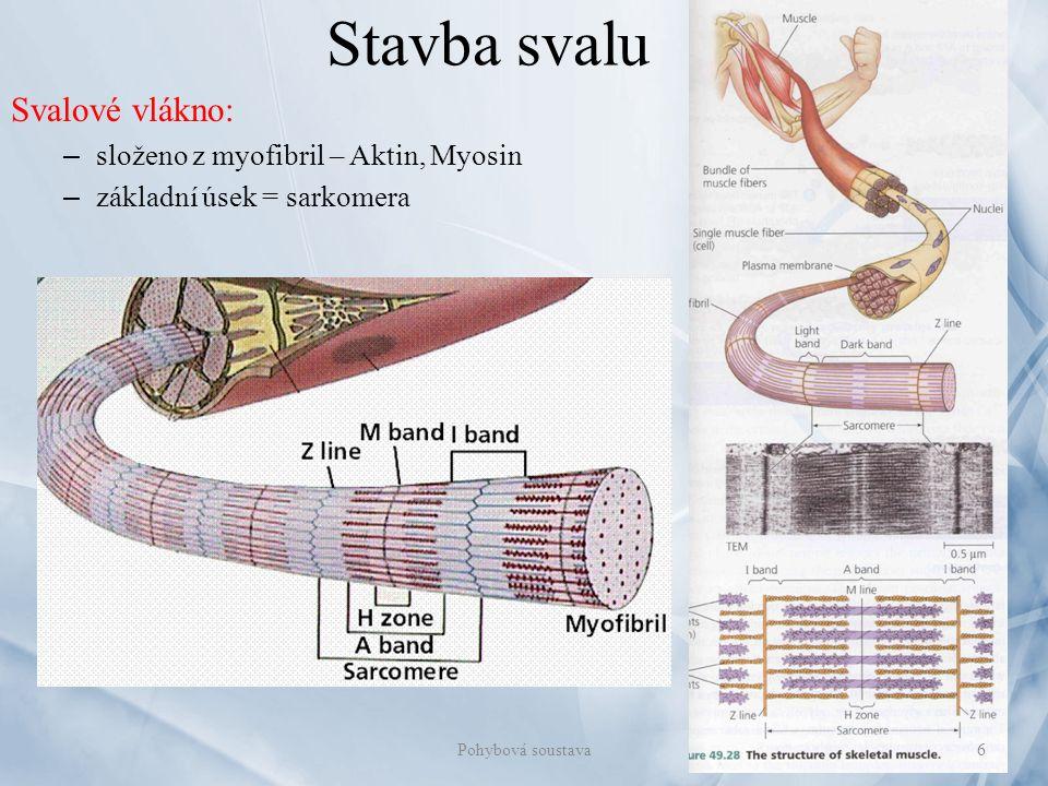 Stavba svalu Svalové vlákno: složeno z myofibril – Aktin, Myosin