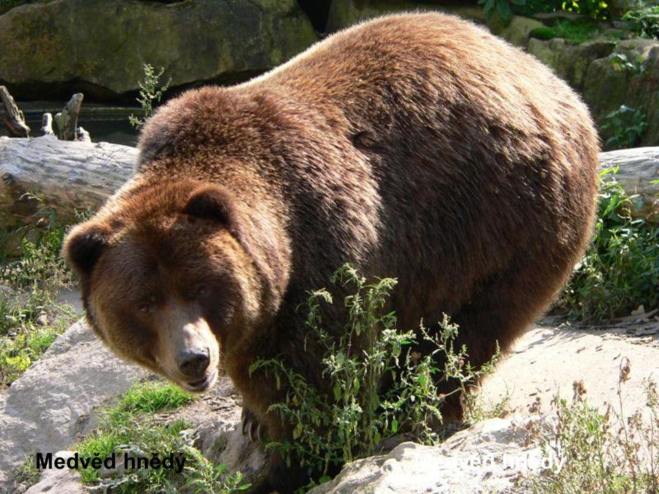 Medvěd hnědý Medvěd hnědý