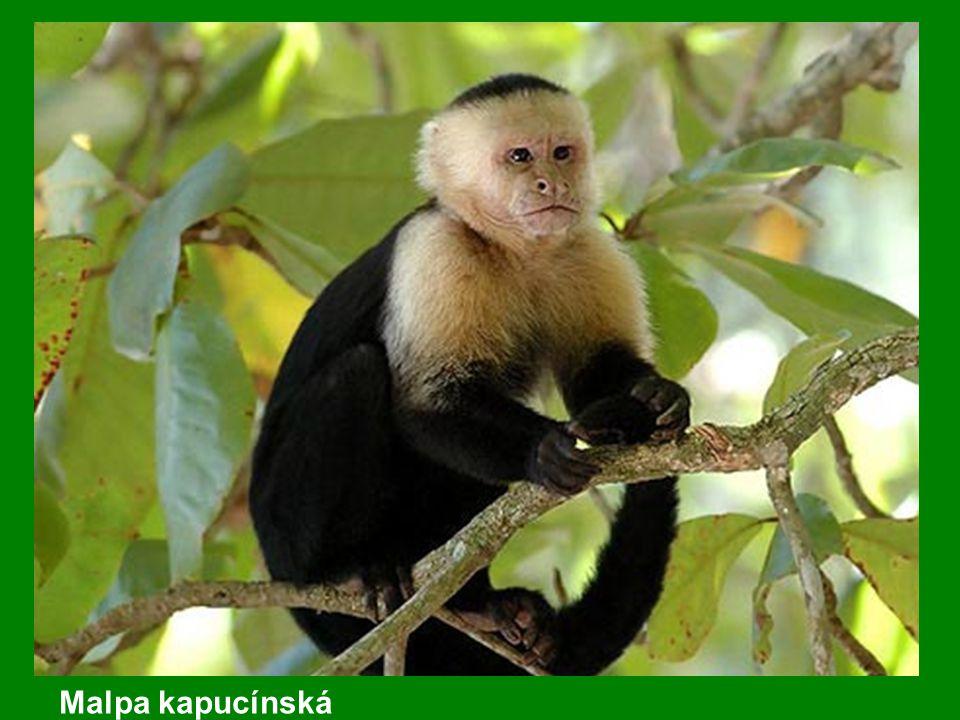Malpa kapucínská