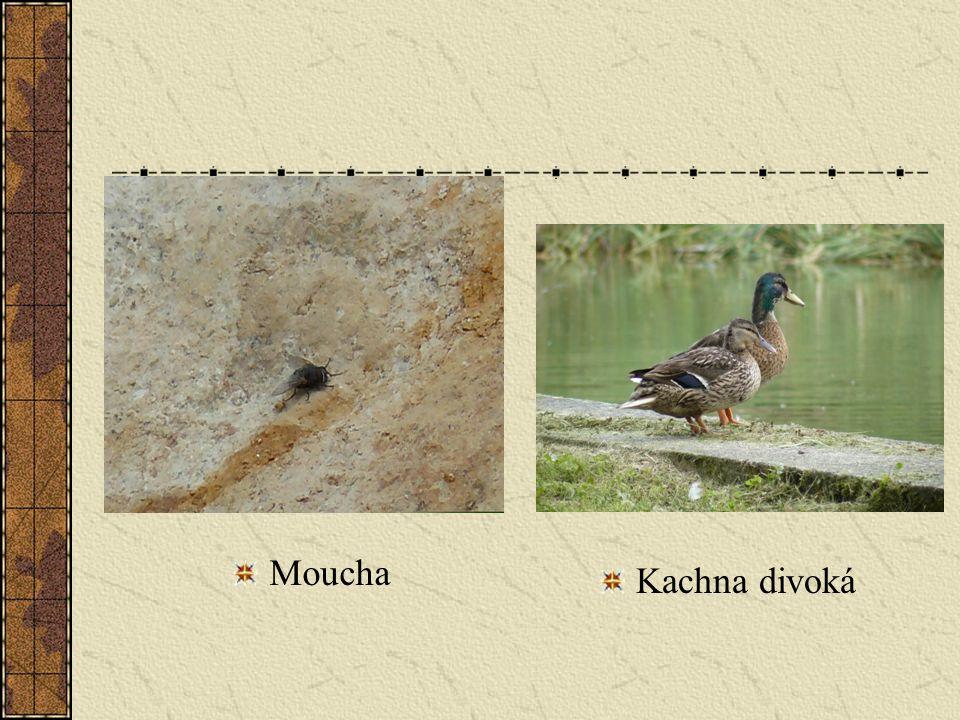 Moucha Kachna divoká