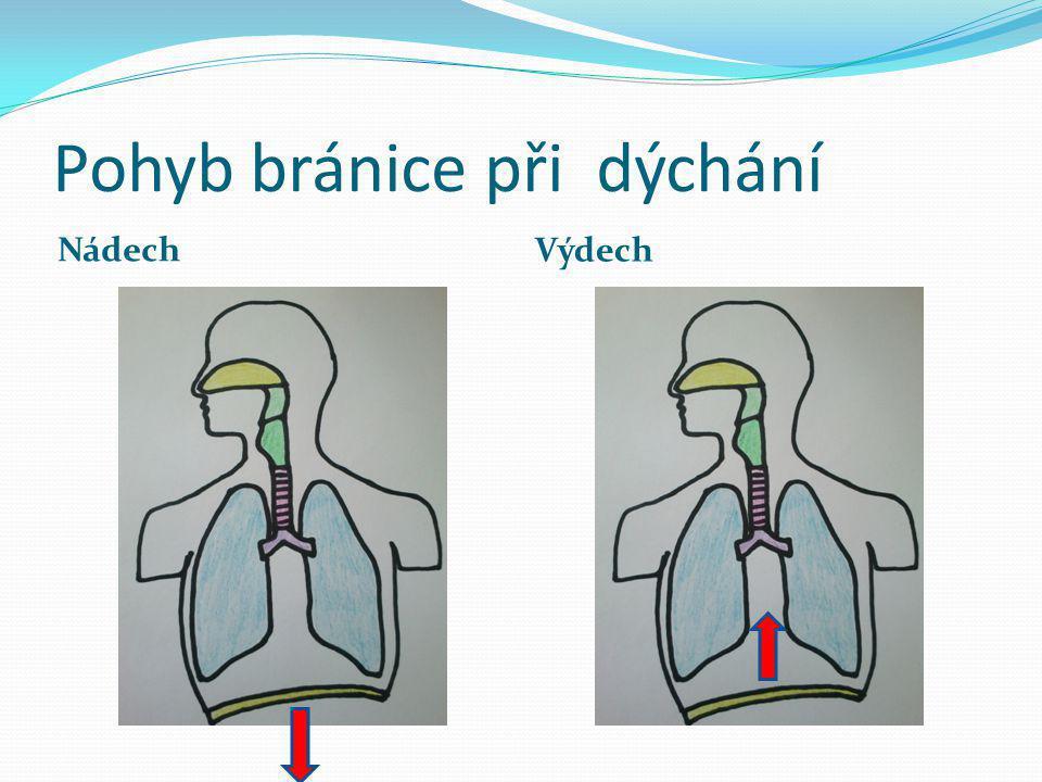 Pohyb bránice při dýchání