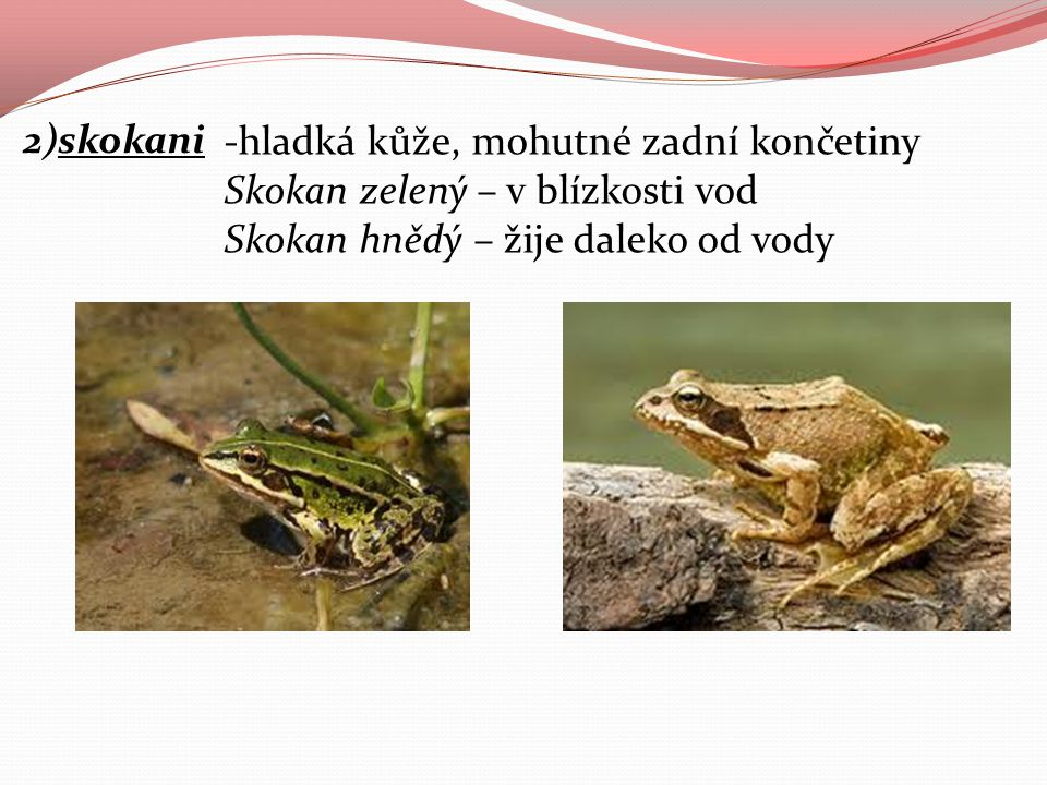 2)skokani -hladká kůže, mohutné zadní končetiny Skokan zelený – v blízkosti vod.