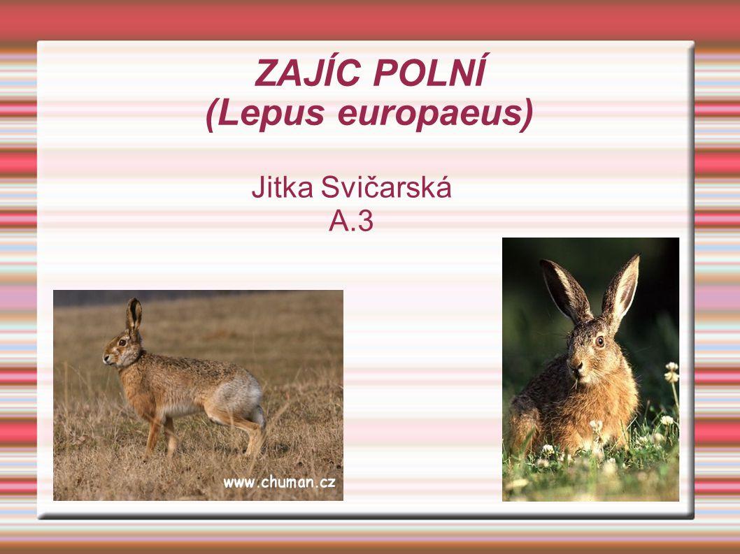 ZAJÍC POLNÍ (Lepus europaeus)