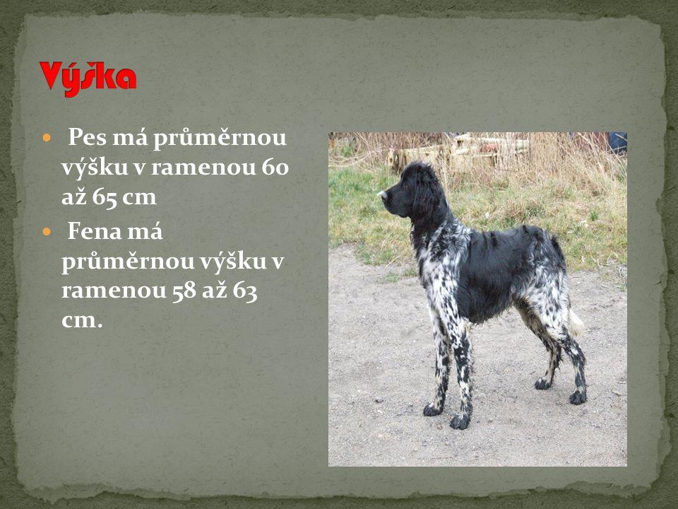 Výška Pes má průměrnou výšku v ramenou 60 až 65 cm