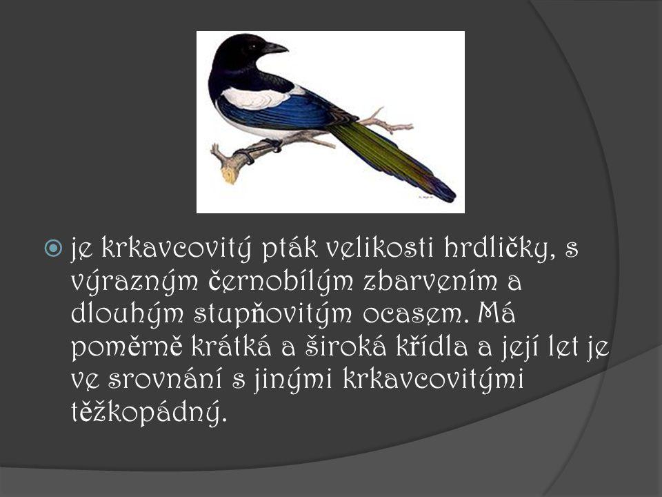je krkavcovitý pták velikosti hrdličky, s výrazným černobílým zbarvením a dlouhým stupňovitým ocasem.