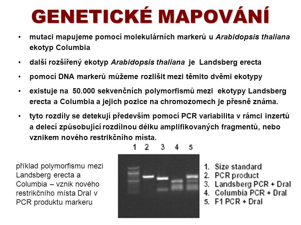 GENETICKÉ MAPOVÁNÍ mutaci mapujeme pomocí molekulárních markerů u Arabidopsis thaliana ekotyp Columbia.