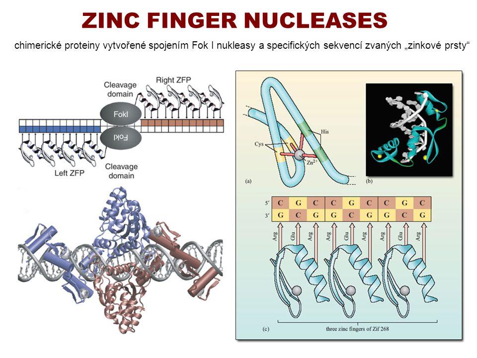 """ZINC FINGER NUCLEASES chimerické proteiny vytvořené spojením Fok I nukleasy a specifických sekvencí zvaných """"zinkové prsty"""