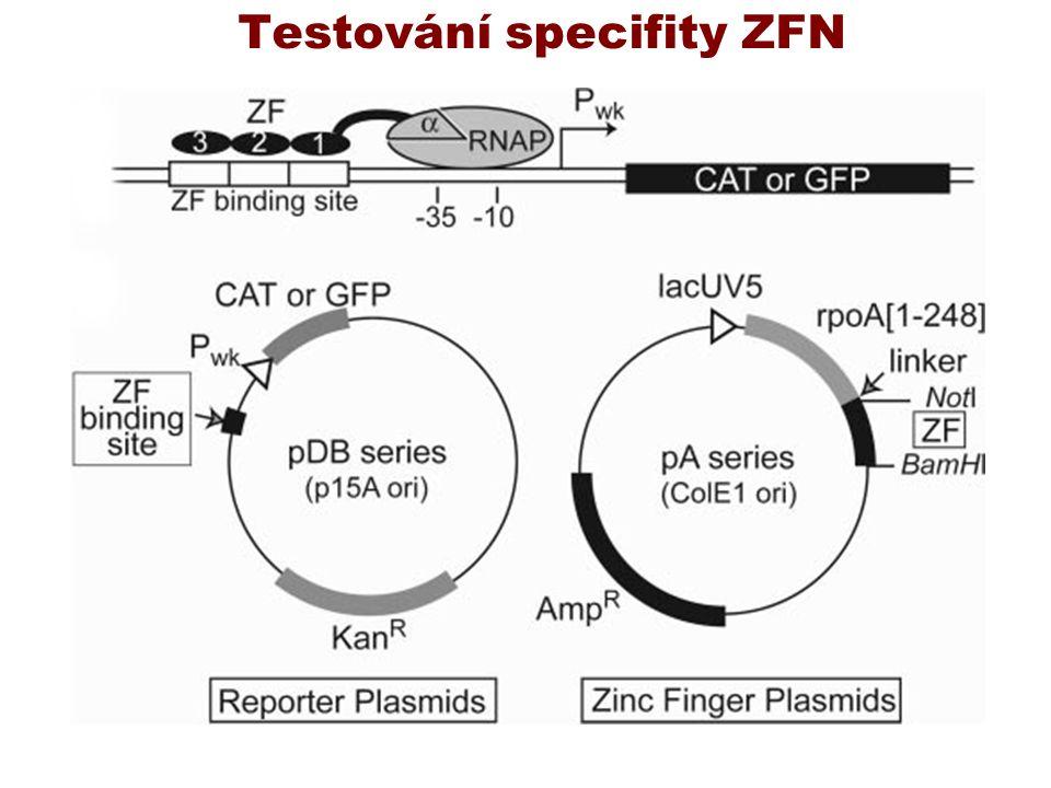Testování specifity ZFN