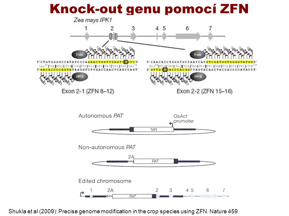 Knock-out genu pomocí ZFN