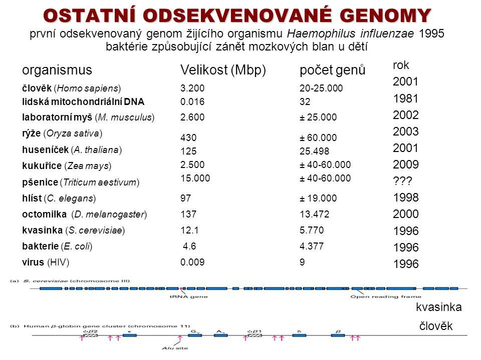 OSTATNÍ ODSEKVENOVANÉ GENOMY první odsekvenovaný genom žijícího organismu Haemophilus influenzae 1995 baktérie způsobující zánět mozkových blan u dětí