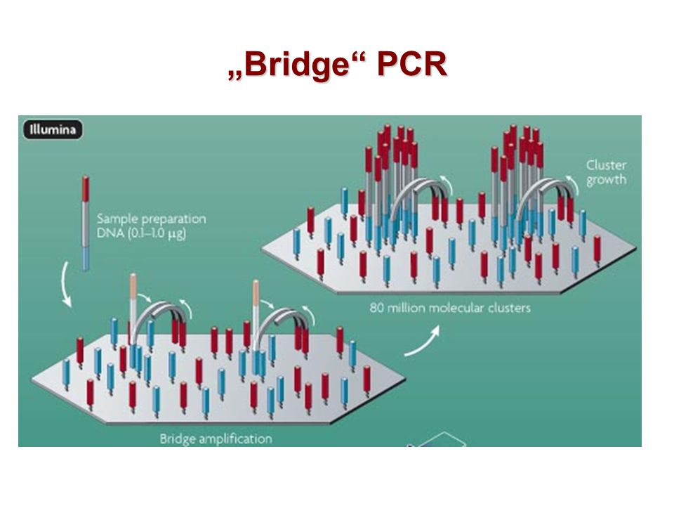 """Bridge PCR"