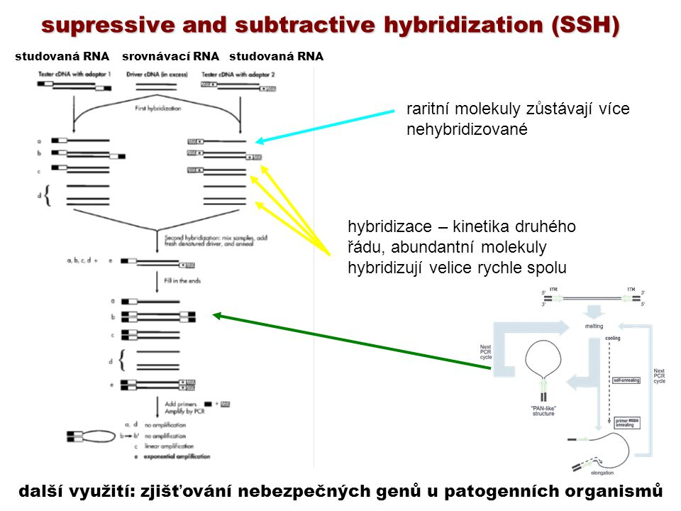 supressive and subtractive hybridization (SSH)
