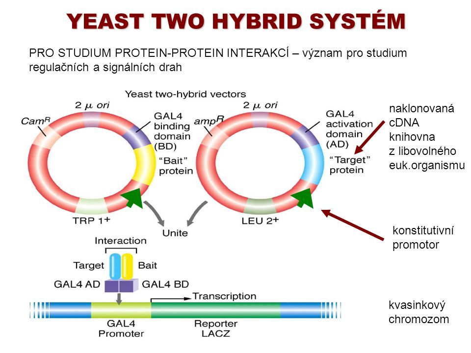 YEAST TWO HYBRID SYSTÉM